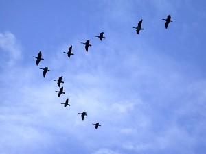 oiseaux-migrateurs.1250396147